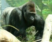 D'argent un gorille en arrière Photos libres de droits