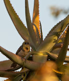 D'Arnaud's Barbet on a cactus Royalty Free Stock Photography