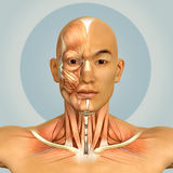 3d Asian male model face and neck muscles anatomy Royalty Free Stock Photo