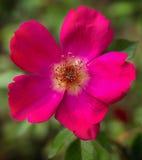` d'Audubon de ` de Rose d'arbuste Photographie stock
