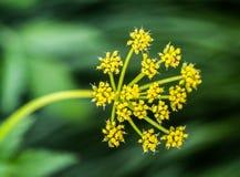 ` D'aurea de Zizia de ` aux jardins botaniques de NY Photos stock