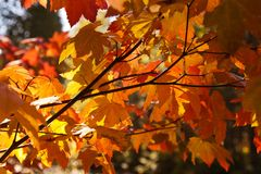 Or d'automne Photo libre de droits