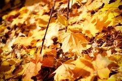 Or d'automne de groupe de fond, feuilles d'orange extérieur images stock