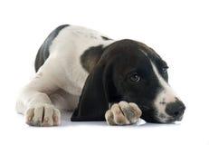 D'Auvergne Braque щенка Стоковое Фото