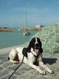 D'auvergne de Braque en Normandie Image stock