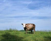 Dębna krowa Zdjęcia Royalty Free