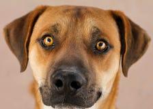 Dębnego i czarnego psa twarz Zdjęcia Stock