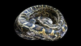 3d Boa Constrictor. The World`s Biggest Venomous Snake  on Black Background, 3d Illustration, 3d Rendering Royalty Free Stock Photos