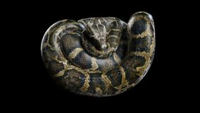3d Boa Constrictor. The World`s Biggest Venomous Snake  on Black Background, 3d Illustration, 3d Rendering Royalty Free Stock Image
