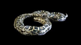 3d Boa Constrictor. The World`s Biggest Venomous Snake Isolated on Black Background, 3d Illustration, 3d Rendering Stock Photos