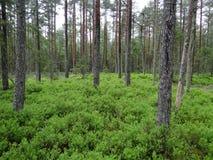 91D0* Bog woodland Natura 2000 habitat Stock Photography