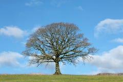 dębowego drzewa zima Zdjęcie Royalty Free
