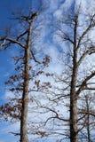 Dębowi drzewa Zdjęcie Stock