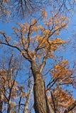 Dębowi drzewa zdjęcia stock