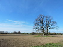 Dębowi drzewa w polu, Lithuania Fotografia Stock