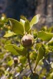 Dębowi halni acorns w sierra Nevada góry fotografia royalty free