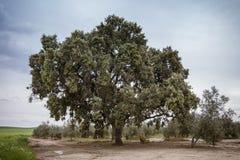 Dębowi holms, ostrokrzew w andalusian lasu krajobrazie w Jaen Zdjęcia Royalty Free