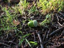 Dębowy acorn Quercus na trawy polu Zdjęcia Royalty Free