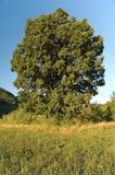 dębowy drzewo Obraz Stock