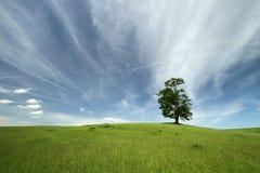 Dębowy drzewo Zdjęcie Stock