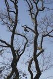Dębowy drzewo Disley, Stockport, Darbyshire Anglia Lyme park Fotografia Royalty Free