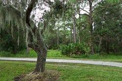 Dębowy drzewo przed chodniczkiem obrazy stock