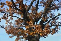 Dębowy drzewo przy spadkiem Obrazy Stock