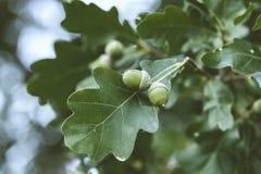 Dębowy drzewo w lecie Obraz Royalty Free