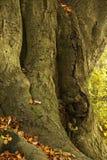 Dębowy drzewo w lesie Zdjęcie Stock
