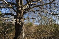 Dębowy drzewo w lesie Obraz Royalty Free