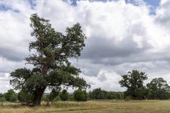 Dębowy drzewo w parkland Obrazy Stock