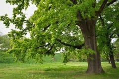 Dębowy drzewo w parku Zdjęcia Royalty Free