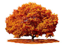 Dębowy drzewo w spadek jesieni Fotografia Royalty Free