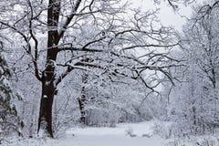 Dębowy drzewo w zimie Zdjęcia Royalty Free