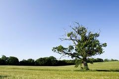 dębowy stary drzewo Zdjęcie Stock