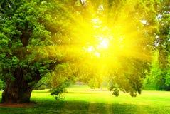 dębowy stary drzewo Zdjęcia Royalty Free