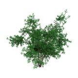 3D che rende Bush Rosa Majalis su bianco Fotografia Stock Libera da Diritti