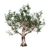 3D che rende l'albero di gomma rossa su bianco Fotografia Stock