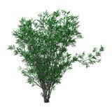 3D che rende l'oleandro di Bush con i fiori su bianco Immagini Stock