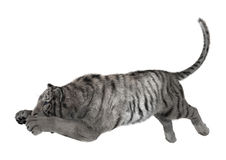 3D che rende tigre bianca su bianco Immagine Stock