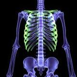 3d ciała ludzkiego ilustracyjny kościec Zdjęcia Stock
