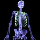 3d ciała ludzkiego ilustracyjni ziobro Ilustracji