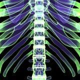 3d ciała ludzkiego ilustracyjni ziobro Zdjęcia Royalty Free