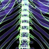 3d ciała ludzkiego ilustracyjni ziobro Fotografia Stock
