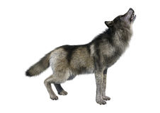 3D, das Gray Wolf auf Weiß überträgt Lizenzfreies Stockbild