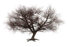 3D, das Sakura Tree auf Weiß überträgt stockbilder