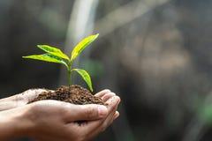 D?a de la Tierra del ambiente en las manos de los ?rboles que crecen alm?cigos ?rbol femenino de la tenencia de la mano del fondo foto de archivo libre de regalías