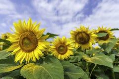 3d dichte omhooggaand van de zonbloem Stock Afbeelding