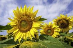 3d dichte omhooggaand van de zonbloem Stock Fotografie