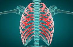 3D ejemplo de costillas, concepto m?dico stock de ilustración